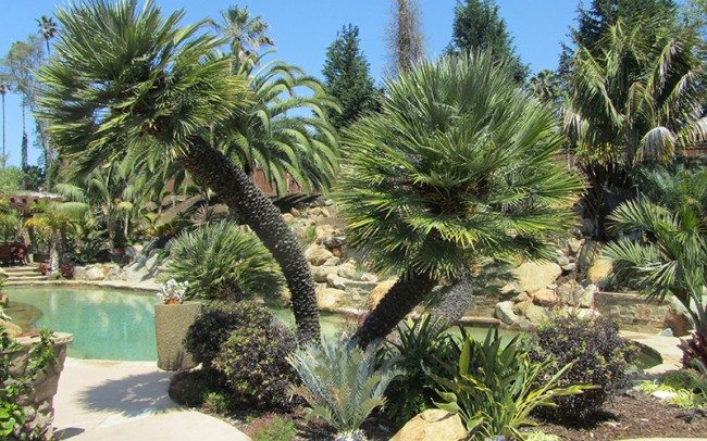 chamaerops humilis palm trees