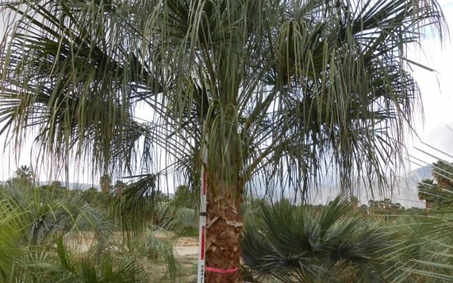 Livistonia decora dealer sale trees