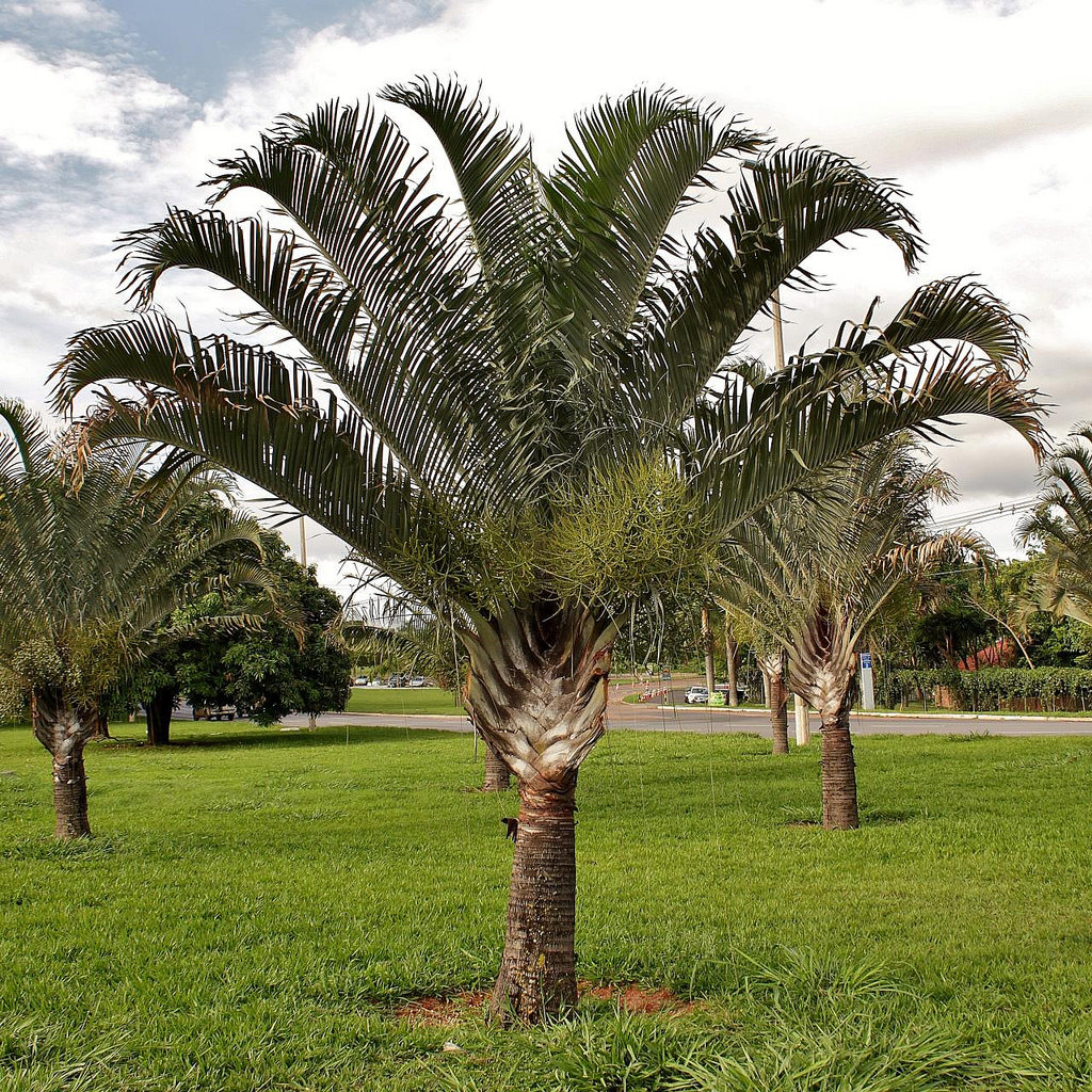 Quality Dypsis Decaryi Palm Trees   West Coast Trees