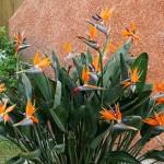 Strelitzia-reginae-3