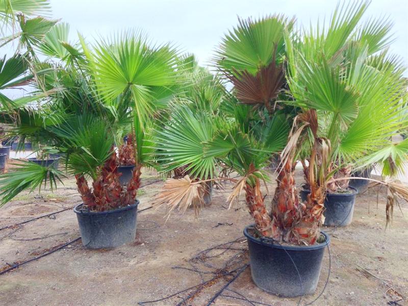 palmier dracaena prix