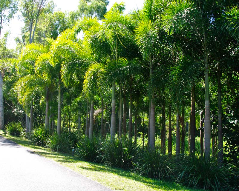 Woodyetiabifurcata (Foxtail Palms)