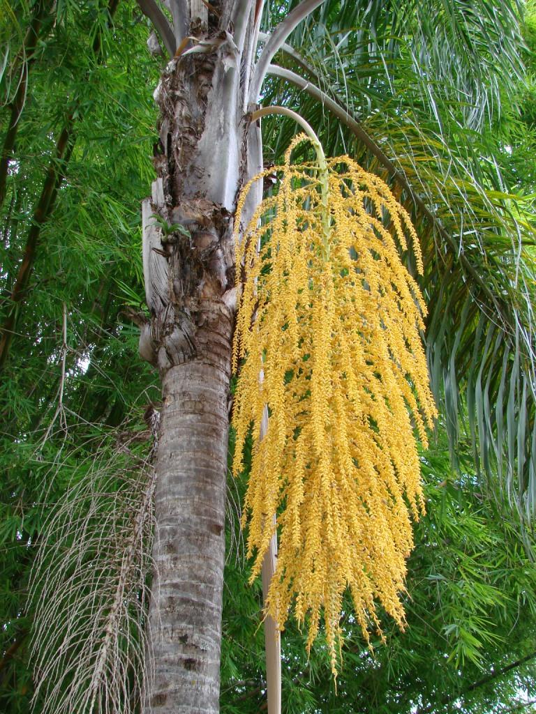 Quality Syagrus Romanzoffiana Palm Trees At Low Price West Coast Trees