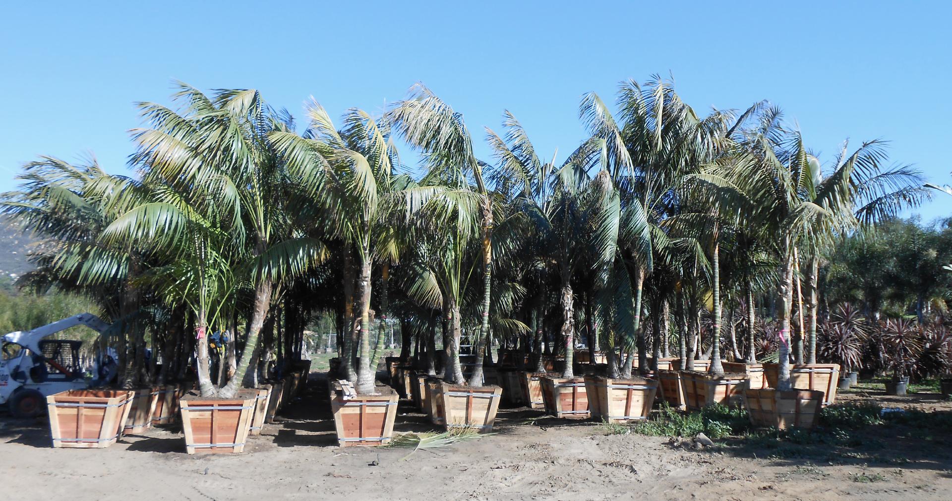 Rare-Palms