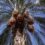 Phoenix dactylifera palm trees