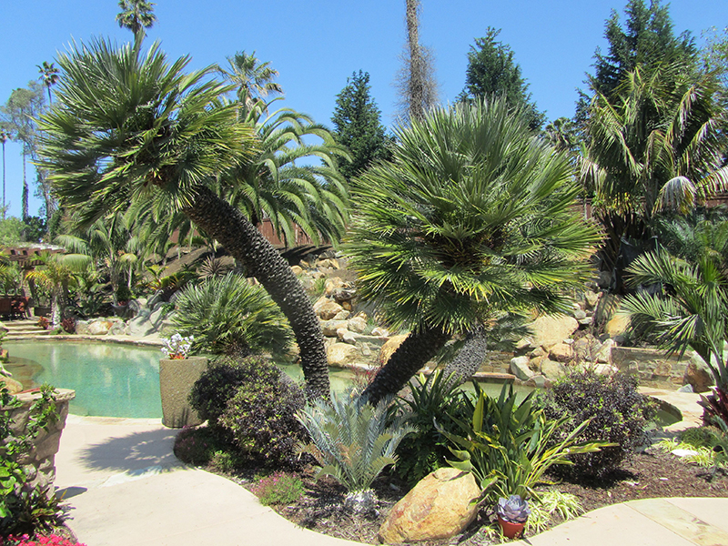 Palm Trees For Sale San Diego California West Coast Trees