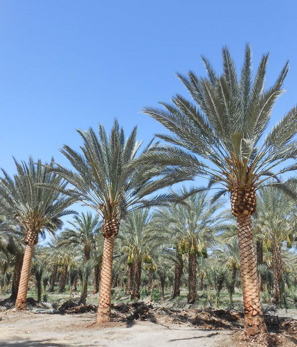 palm tree planting tips southern california