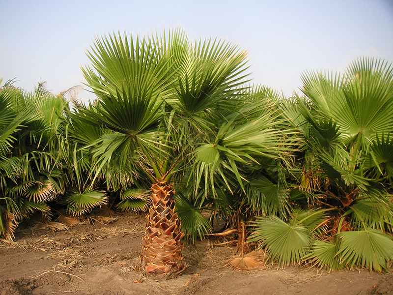 Common Palm Tree Issues
