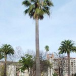 Get Your California Fan Palm Trees from the World's #1 Supplier