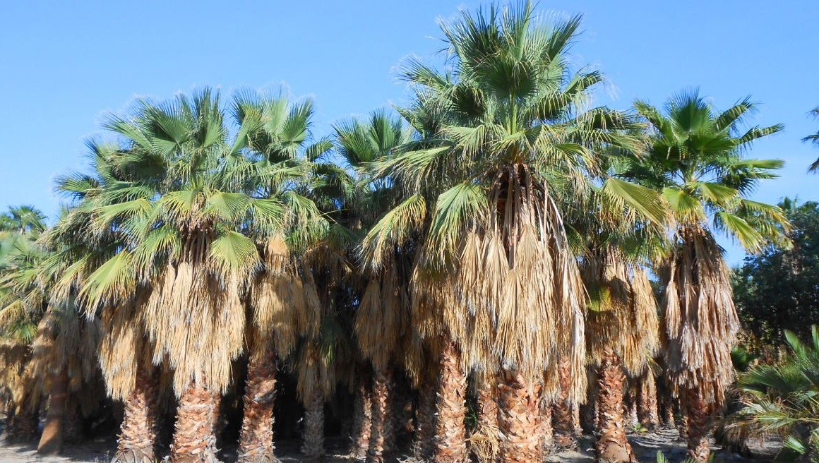 The Hearty Washingtonia filifera (California Fan Palm)