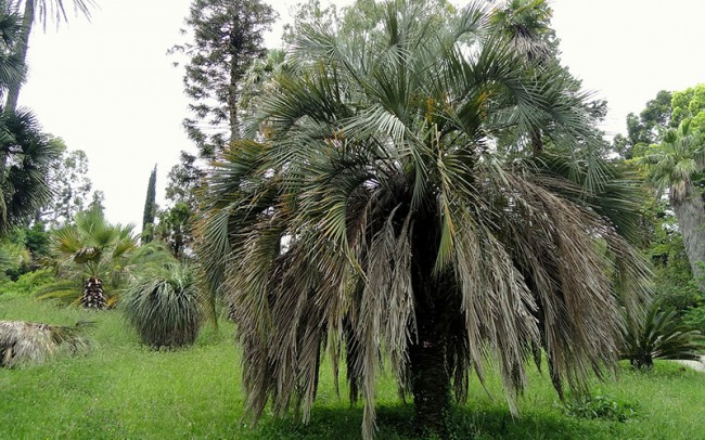 Butia odorata (capitata) sale dealer