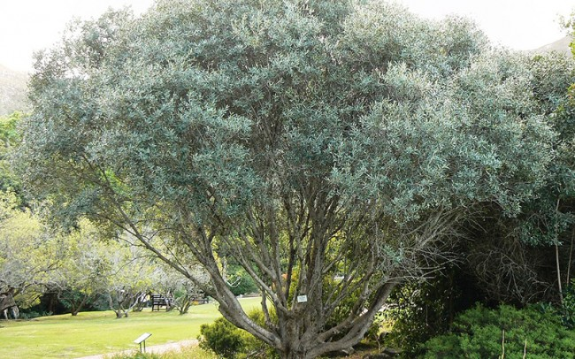 Olea europaea sale dealer