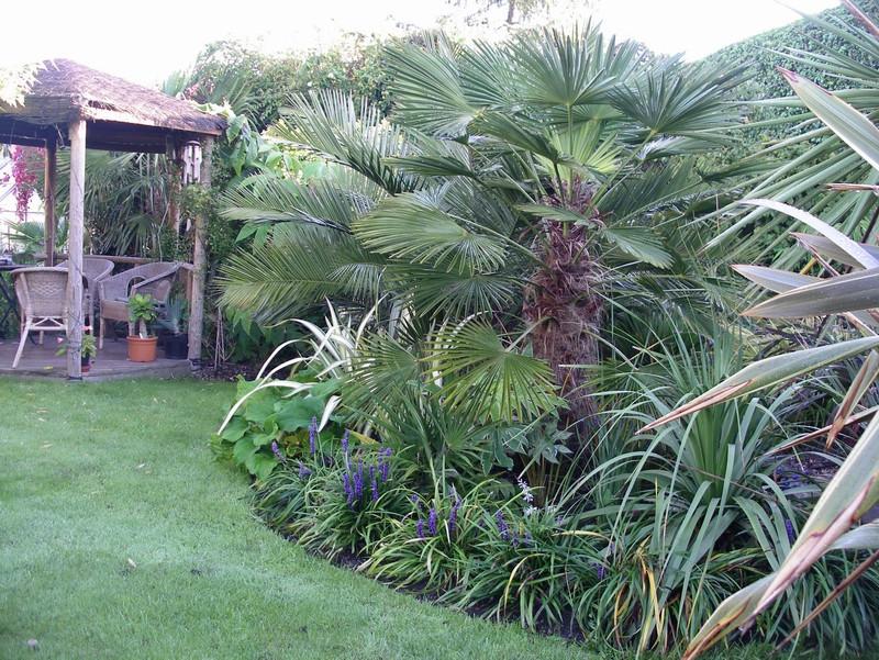 Trachycarpus Wagnerianus Sale Dealer