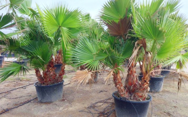 Washingtonia robusta multi sale dealer