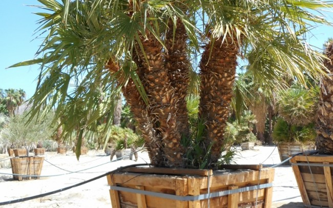 Chamaerops humilis sale dealer tree