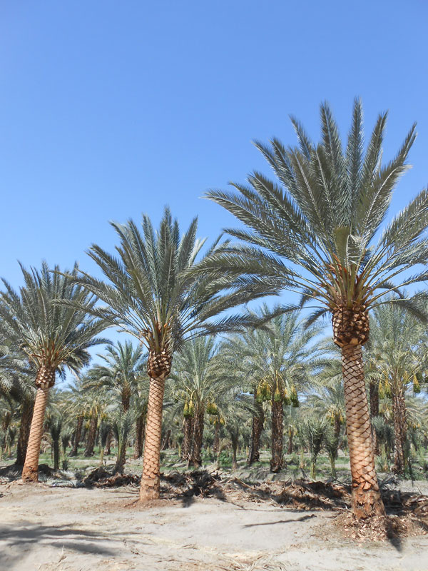 3 Reasons You Shouldn't Be Trimming Your Palm Trees